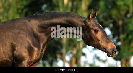 Portrait of a young akhal teke horse with long neck looking to the right on a blurry background - Stock Photo