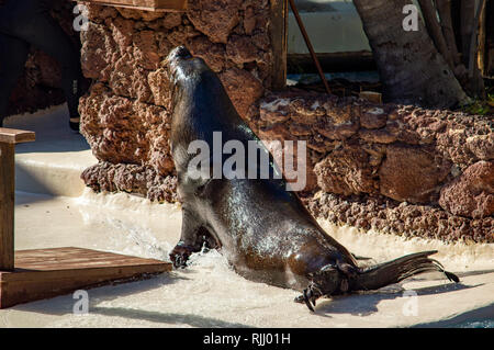 A sea lion show at the Oasis Park in Fuerteventura, Canary Islands - Stock Photo