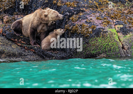 Grizzly bear Mom and her cub are feeding on blue mussels during low tide along the Knight Inlet shoreline, First Nations Territory, British Columbia,  - Stock Photo