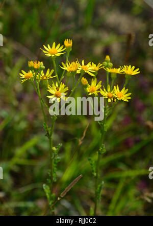 Common Ragwort, Jacobea, Staggerwort (Senecio jacobaea) flowering. Germany - Stock Photo