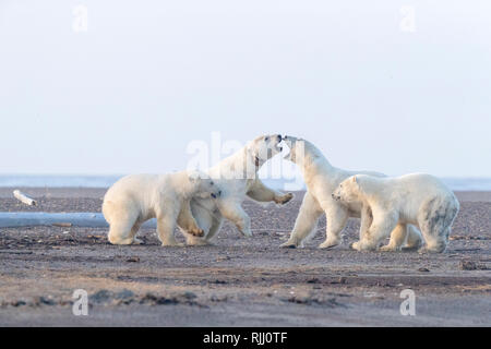 Polar Bear (Ursus maritimus, Thalarctos maritimus). Meeting between mothers with cubs, along a barrier island outside Kaktovik, Alaska. - Stock Photo