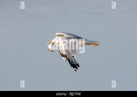 Herring Gull (Larus argentatus). Adult in flight, with fish in its bill. Germany - Stock Photo