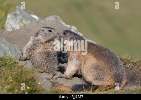 Alpine Marmot (Marmota marmota). Adult an young playing. High Tauern National Park, Austria - Stock Photo