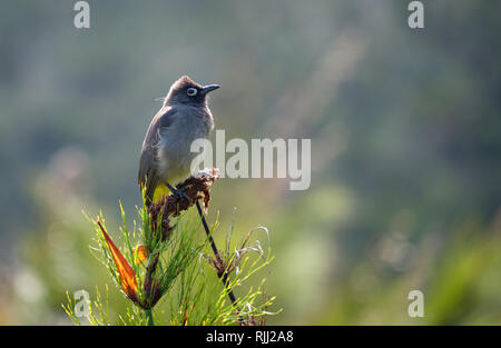 South african Cape Bulbul standing on top of dried bush. Side way view with blurred background - Stock Photo