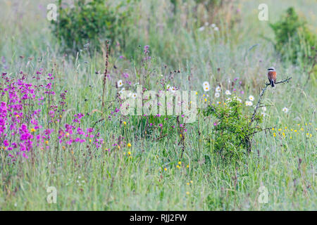Red-backed Shrike (Lanius collurio). Male on a thorny twig in a meadow. High Tatras, Slovakia - Stock Photo