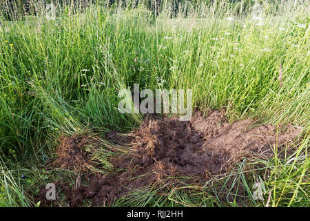 European Brown Bear (Ursus arctos).  Digging traces of a bear searching for ant pupae. High Tatras, Slovakia - Stock Photo