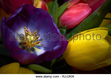 Tulips on bloom in yellow pink and purple with the purple flower open exposing the anther and stigma - Stock Photo