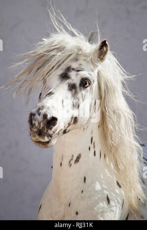 Shetland Pony. Portrait of Miniature Appaloosa gelding. Germany - Stock Photo