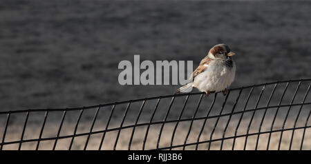 A sparrow perched on a wire fence in the sun. - Stock Photo
