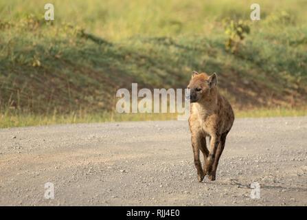 Spotted Hyena, Crocuta crocuta, walks on a dirt road in Lake Nakuru National Park, Kenya - Stock Photo