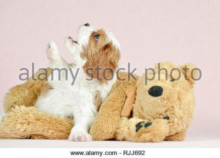 Cavalier King Charles Spaniel. Puppy (5 weeks old) with teddy bear. Studio picture against a pink background. Germany - Stock Photo