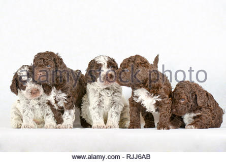 Lagotto Romagnolo. Five puppies (5 weeks old) in line. Studio picture against a white background. Germany - Stock Photo