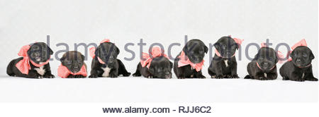 Mixed-breed dogs. Puppies (4 weeks old) , wearing a big red-and-white bow, seen head-on. Studio picture against a white background. Germany - Stock Photo