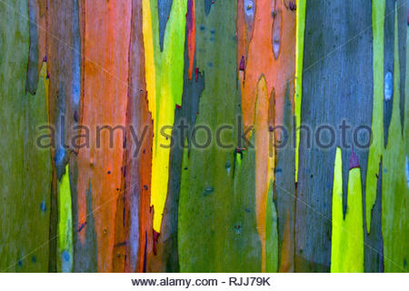 Eucalyptus Gum Tree Bark - Stock Photo