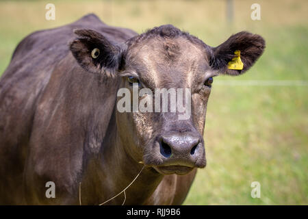 A brown cow looks up from grazing in a field in New Zealand - Stock Photo