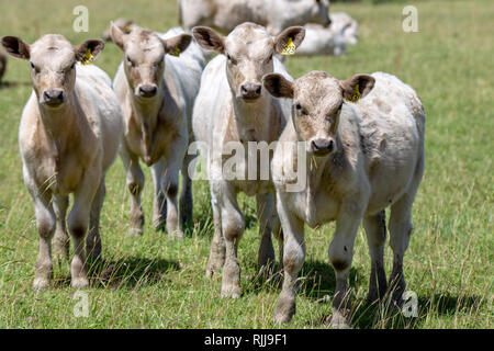 Young charolais white calves in a grassy field in Canterbury, New Zealand - Stock Photo