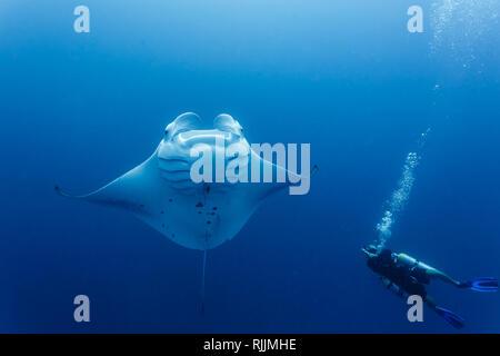 closeup of diver near giant manta ray swimming around him - Stock Photo