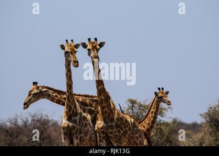Giraffenköpfe im Etosha Nationalpark - Stock Photo