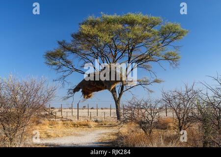 Nest von Webervögeln im Etosha Nationalpark - Stock Photo