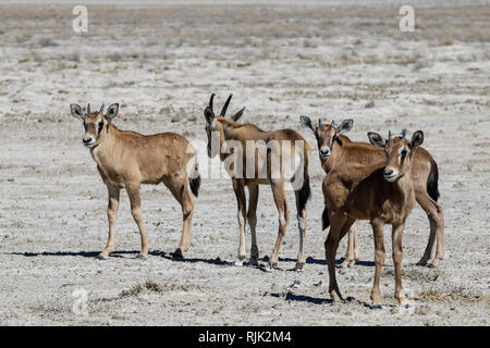 Oryx-Kalb im Etosha-Nationalpark - Stock Photo