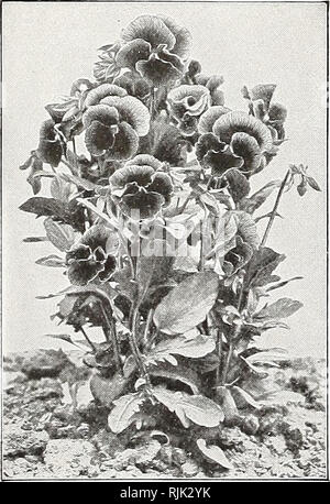 . Beckert's seed store : 1916. Nurseries (Horticulture) Pennsylvania Pittsburgh Catalogs; Nursery stock Pennsylvania Pittsburgh Catalogs; Vegetables Seeds Pennsylvania Pittsburgh Catalogs; Flowers Seeds Pennsylvania Pittsburgh Catalogs; Bulbs (Plants) Pennsylvania Pittsburgh Catalogs. Gaillardia, Coppery Red FLOWER SEED NOVELTIES, continued DAHLIA, GIANT SINGLE. The plants grow to a medium height. Its numerous blooms are perfect in shape, of various colorings and of huge size, sometimes attaining a diameter of 7 inches and over. To obtain best results, the seed should be started indoors. Pkt.  - Stock Photo