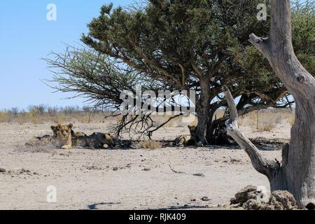 Löwen im Etosha Nationalpark - Stock Photo