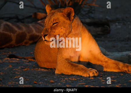 Löwin bewacht die Beute in Namibia - Stock Photo