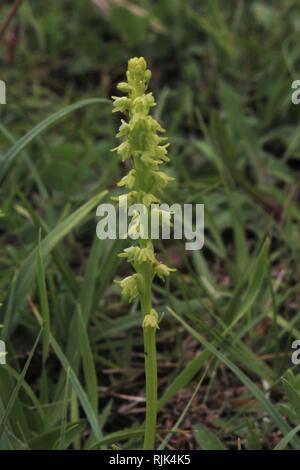 Musk orchid (Herminium monorchis) Eifel, Germany - Stock Photo