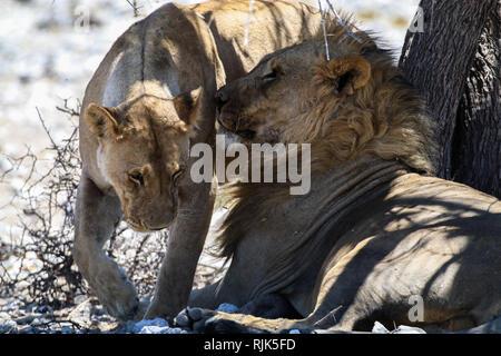 Löwen im Etosha-Nationalpark - Stock Photo