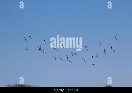 Helmperlhühner fliegen im Etosha Nationalpark - Stock Photo