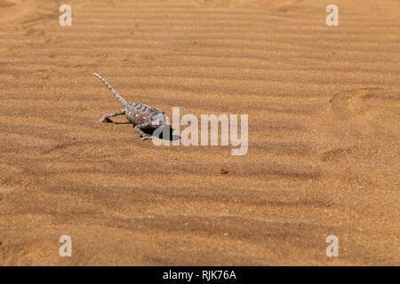 Chamäleon in der Namib-Wüste - Stock Photo
