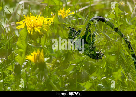 Dandelions and sunflower. Two-frame assembling with dandelions and sunflower. Yellow dandelions and sunflower on green grass.  Meadow with dandelion a - Stock Photo
