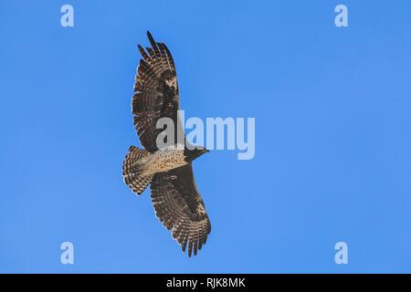 Adler in Namibia - Stock Photo