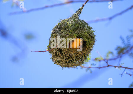 Webervogel beim Nestbau - Stock Photo