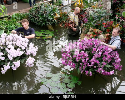 Kew Gardens London, UK. 6th Feb, 2019. Gardeners prepare for the Orchid Festival starting on February 9 Credit: Anthony Collins/Alamy Live News - Stock Photo
