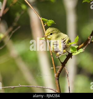 Wood Warbler in spring - Stock Photo