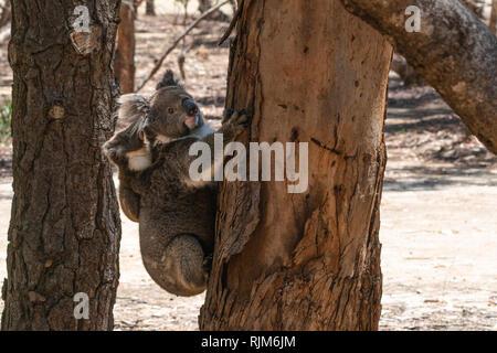 Wild Koalas on an Eucalyptus tree trunk with the mother carrying her baby koala on her back on Kangaroo island SA Australia - Stock Photo