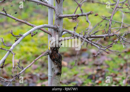 Apple orchard in early spring. Cutting out sick branches. - Stock Photo