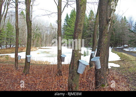 Collecting maple sap from maple trees in the spring - Stock Photo