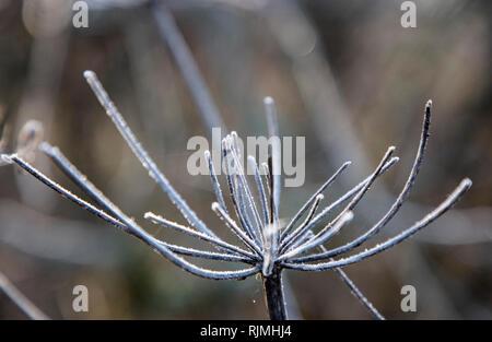 Frosty Spiky Wild Plant in January Frost - Stock Photo