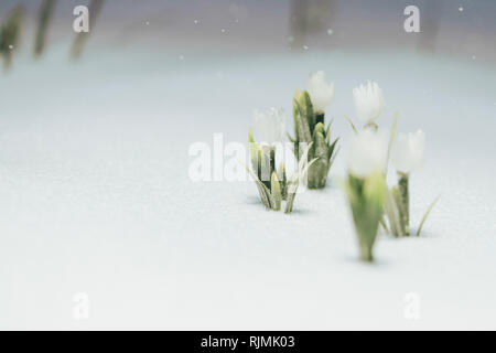 first white flowers under the snow. it's snowing in the evening - Stock Photo