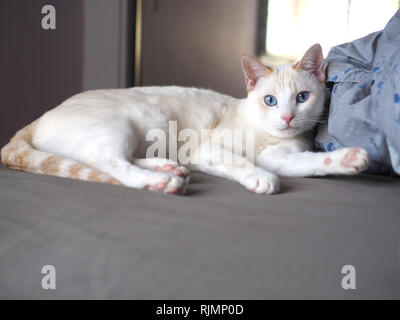 Mitzie the flame point Siamese on the bed - Stock Photo