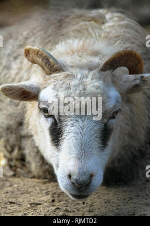 Close portrait of white goat with horns staring looking straight into the camera. Photo taken from a low angle close to the floor perspective. - Stock Photo