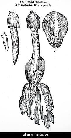 An engraving depicting Phallus impudicus, known colloquially as the common stinkhorn, is a widespread fungus recognizable for its foul odour and its phallic shape when mature, the latter feature giving rise to several names in 17th-century England. From: John Parkinson 'Theatrum Botanicum: The Theater of Planta', London 1640 - Stock Photo