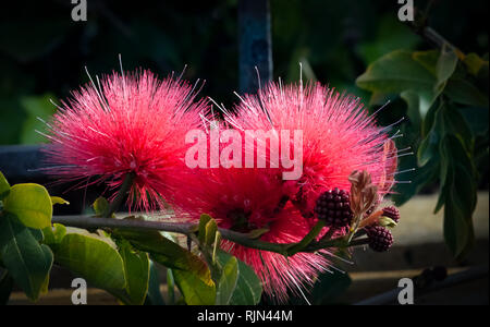 red bottle brush plant closeup against a dark green leaf background - Stock Photo