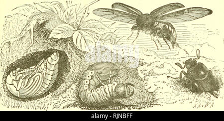 . Elementary text-book of zoology [electronic resource]. Zoology. INSECT A. 247 Fig. 162. —The Life-History of the Common Cockchafer (Melolontha Vulgaris).. The underground larva is seen m the nnddlc, the pupa to the left, and the male is emerging on the right. The female is flying, showing elytra and ^^ ings. A very typical and common beetle is the cockchafer which works havoc upon vegetable life throughout its career. The eggs are laid in the soil and the larvae feed upon the roots of grass or almost any herbaceous plant. After about four years of larval and pupal life, the bettle emerges in