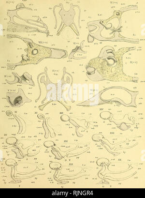 . On the structure and development of the skull of the common frog (Rana temporaria, L.) [electronic resource]. Amphibians; Ranidae; Frogs; Amphibians; Ranidae; Frogs. Pourker. Fkub.Ircuns.m) CCCIiXXI. Fhaie X. I.. W.K p. del.ad nalGeo WestJitti H'rn6'C 11 •WWe6t&C?,m^. Please note that these images are extracted from scanned page images that may have been digitally enhanced for readability - coloration and appearance of these illustrations may not perfectly resemble the original work.. Parker, William Kitchen, 1823-1890; Salvin, Osbert, 1835-1898, former owner; Duke-Elder, Stewart, 1898-1 - Stock Photo