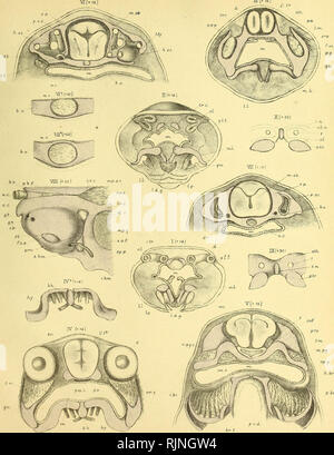 . On the structure and development of the skull of the common frog (Rana temporaria, L.) [electronic resource]. Amphibians; Ranidae; Frogs; Amphibians; Ranidae; Frogs. Pocrker. I'hzL.TrcuLs MDCCChmPLcLU VI.. p. hr. WKPdel aol/iiLt Geo West liLK Frog's Skull, Ficj. 1-8 Staxje 4-^ conf^. Fixj. 9 & JO, Stcjuje 5 . â W.WeBtÂ«.C°uaip. Please note that these images are extracted from scanned page images that may have been digitally enhanced for readability - coloration and appearance of these illustrations may not perfectly resemble the original work.. Parker, William Kitchen, 1823-1890; Salvin - Stock Photo