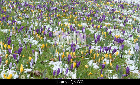Mass mixed planting of crocuses in the lawn f the garden providing a colourful crocus display on a wintery and snow spring day in Surrey, England, UK. - Stock Photo