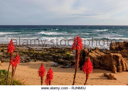 Beautiful orange flowers of the Aloe Fleshy along the coast and beaches of Porto Santo, Madeira Islands, Portugal. - Stock Photo